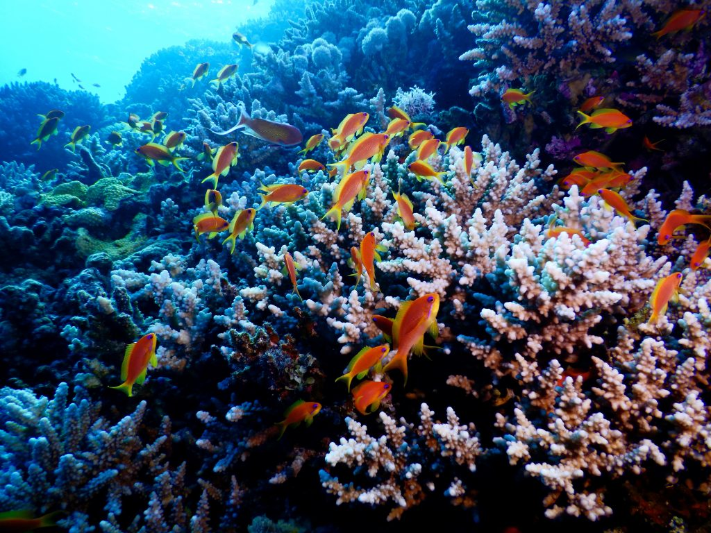 The Red Sea, the last «refuge» for corals on Earth
